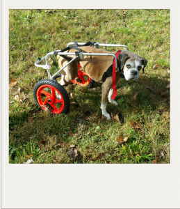 Stubby in her dog wheelchair