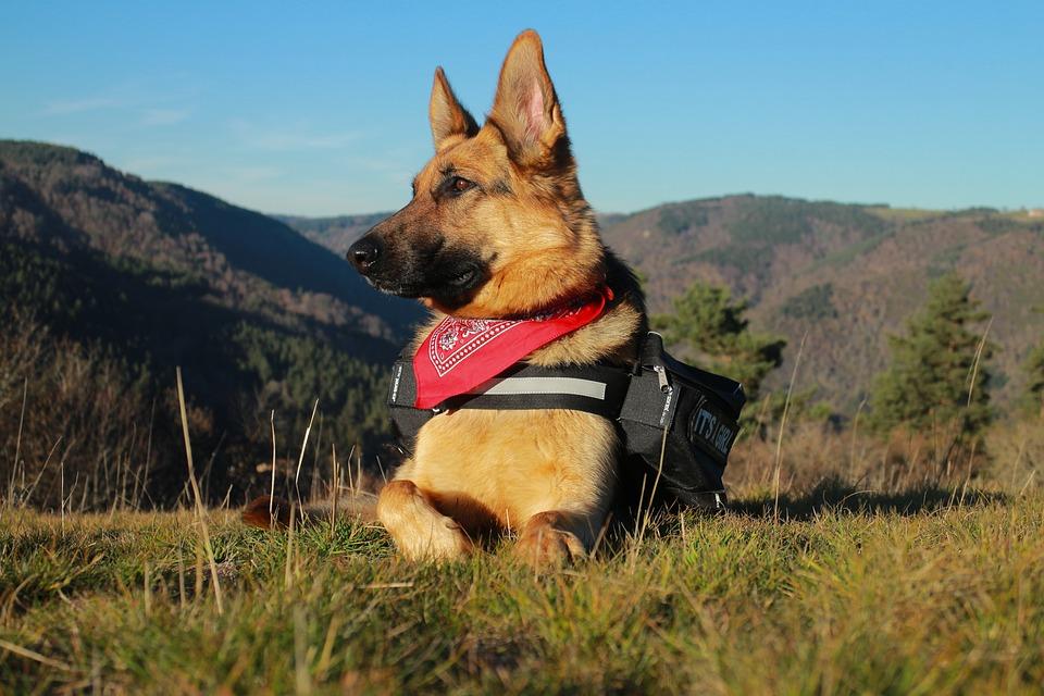 Best Friend Mobility lauds the German Shepherd