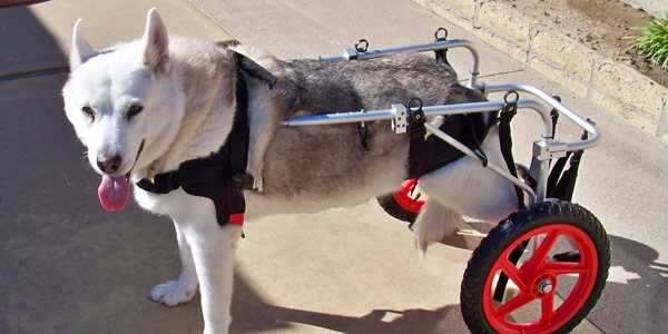 extra small dog wheelchair